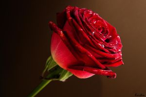 Beautiful rose by KristinCross