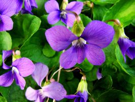 Violets.. by TriciaStucenski