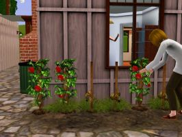 Janie's small tomato garden by k123money