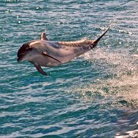 Flying Dolphin by carterr