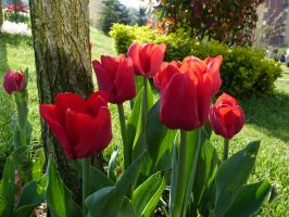 Red Tulips (7th Istanbul Tulip Festival) by Aquamarin-Graphics