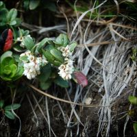 cowberry by alexever