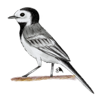 White wagtail (Motacilla alba) by Wings-Dragon