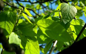 Indian Bean Tree by FordGT