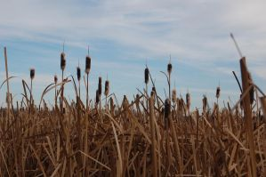 Stock 508 - Cattails by pink-stock