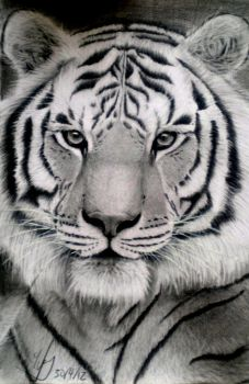 Tiger by SuWift