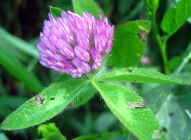 Clover Flower II by Holly6669666