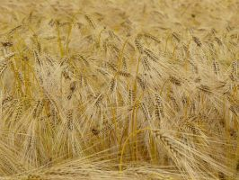 corn barley texture and background by Nexu4