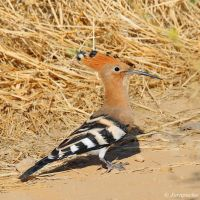 Hoopoe by Jorapache