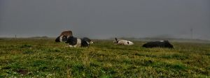 Cows in the fog by forgottenson1