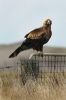 Wedge Tail Eagle by scoot75