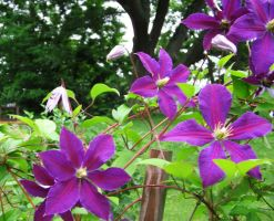 clematis in bloom by uncledave