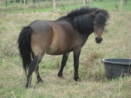 Bay Shetland Pony by Horselover60-Stock