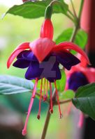 Fuchsia by Alonir