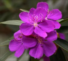 Tibouchina Again by Firey-Sunset
