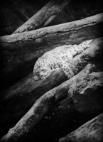 Snow Leopard by Avenley-Brianne