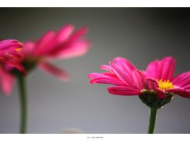 the pink daisy ree... by 13-septembre