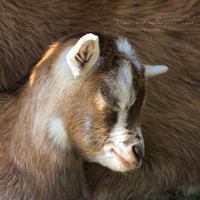 Sleepy Little Goat by TammyPhotography