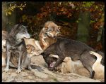 Wolf fight by Ceridwens-gallery