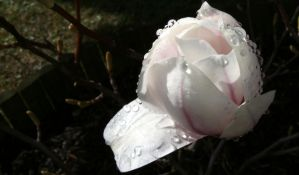 Magnolia after the rain by ShannonKnight