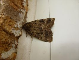 Copper Underwing Moth at Front Door by SrTw