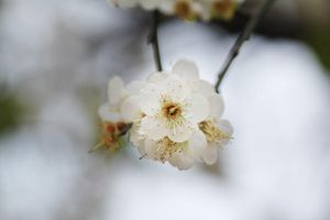 Blossomed Plum III by johnchan