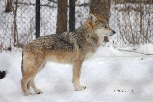 Mexican Wolf Stock 2 by Ghost1701d