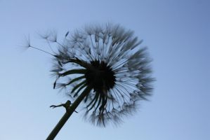 Dandelion by aleister8