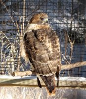 an other Red tailed Hawk by Nipntuck3