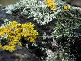 Free Photo Texture - Lichen #1 by croicroga