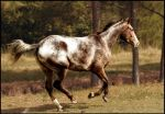 Appaloosa Summer by WildFeathers