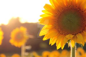 Sunflowers by MorningGlory34