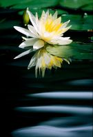 Water Lilly 3 by Art-Photo