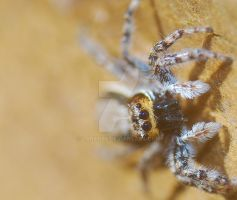 Jumping Spider by Larah88