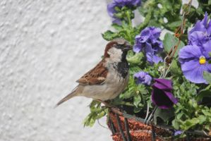 House Sparrow - June 2013 by LFC1976