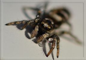 Spider with drop by FrankAndCarySTOCK