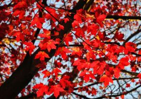 Red Leaves by barcon53