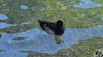 Black Duck by RyanHaas