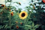 sunflower's end. by kathrinska