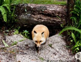 Fox bolting by Aries18o18