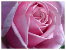Contemplation rose by lovingenglish