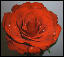 Red Rose by izka-photos