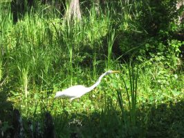 great white heron 05 by CotyStock