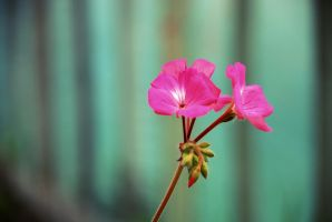Centered Pink by SmileyG