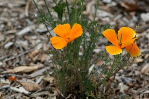 California Poppies by diverse-norm