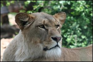 Lioness Portrait by AF--Photography