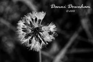 Dandelion1 by RossoCorvino