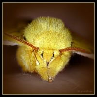Automeris io Moth, Male 2 by UffdaGreg