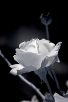 Infrared Rose by bmh1