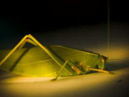 leaf insect shot 2 by jakwak